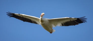 White Pelican Over Lake DeWeese, 2020